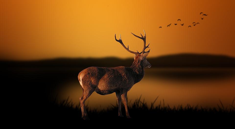 berrea-ciervos-la-pinorra