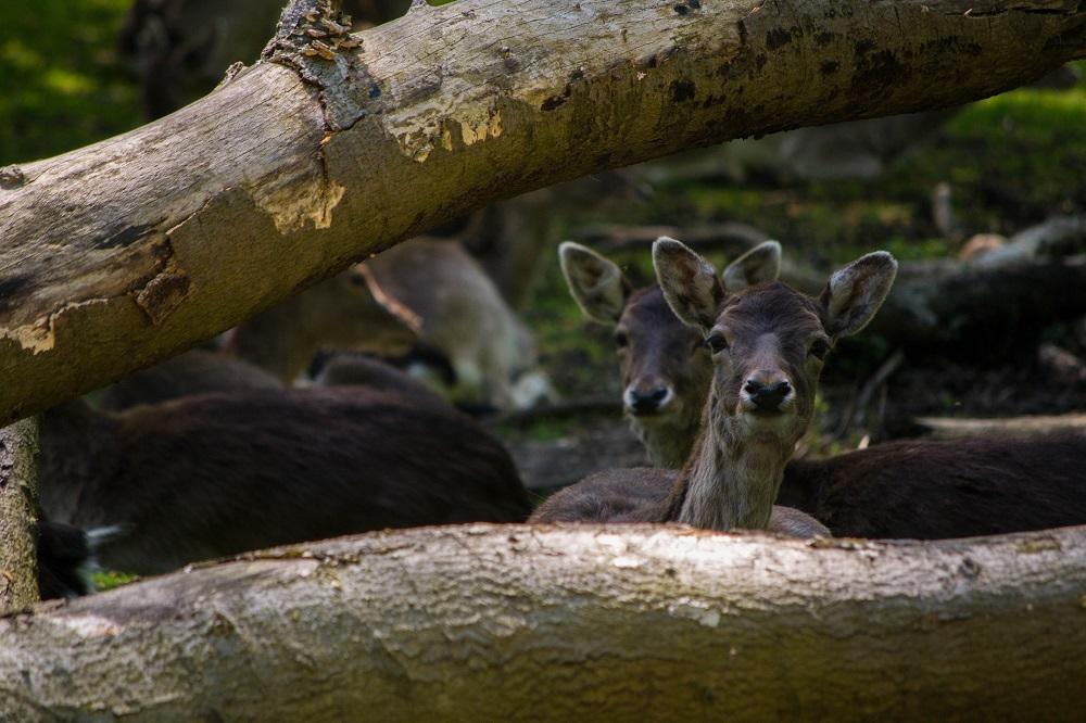 ciervos-piñorra-vinuesa